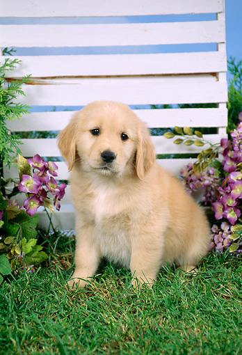 PUP 08 FA0010 01 © Kimball Stock Golden Retriever Puppy Sitting By Trellis And Purple Flowers