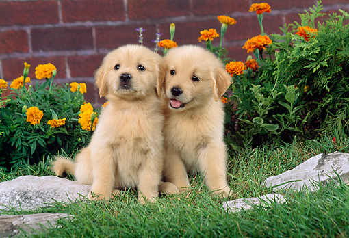 PUP 08 FA0012 01 © Kimball Stock Two Golden Retriever Puppies Sitting On Grass By Orange Flowers