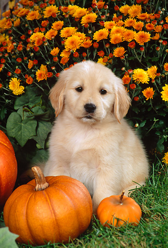 PUP 08 FA0018 01 © Kimball Stock Golden Retriever Puppy Laying By Pumpkins