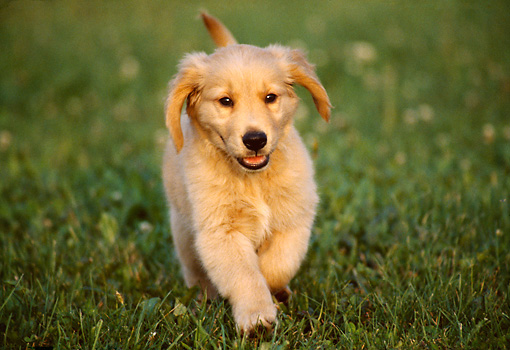 Golden Retriever Puppy Running On Grass Towards Camera Kimballstock