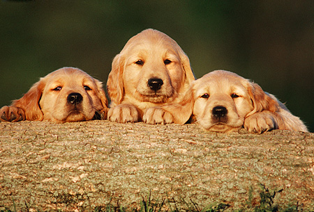 PUP 08 GR0011 06 © Kimball Stock Head Shot Of Three Golden Retriever Puppies On Log Facing Camera