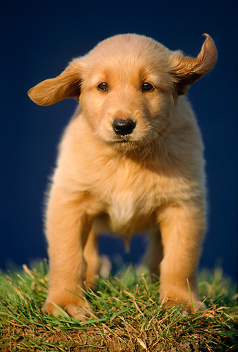 PUP 08 GR0015 01 © Kimball Stock Golden Retriever Puppy Running On Grass Towards Camera