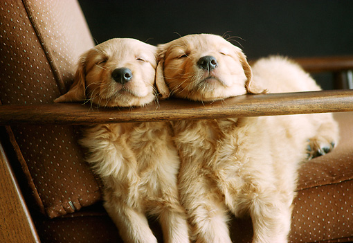 PUP 08 GR0028 01 © Kimball Stock Two Golden Retriever Puppies Sleeping On Armchair