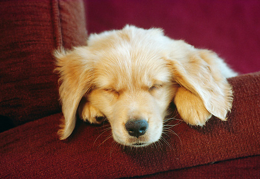 PUP 08 GR0036 01 © Kimball Stock Head Shot Of Golden Retriever Puppy Sleeping On Chair
