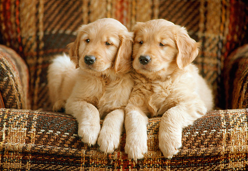 PUP 08 GR0039 01 © Kimball Stock Two Golden Retriever Puppies Sitting On Plaid Chair