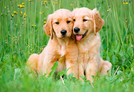 Two Golden Retriever Puppies Sitting On Grass By Yellow Flowers