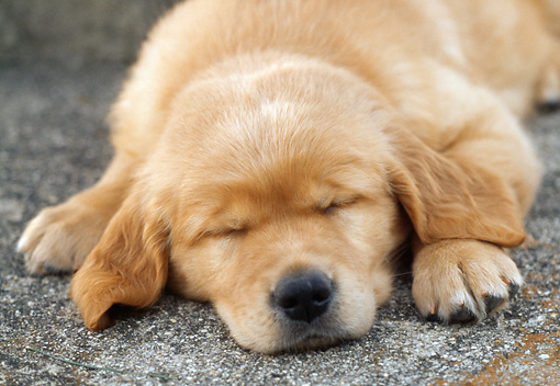 PUP 08 GR0047 01 © Kimball Stock Golden Retriever Puppy Sleeping On Pavement Close Up