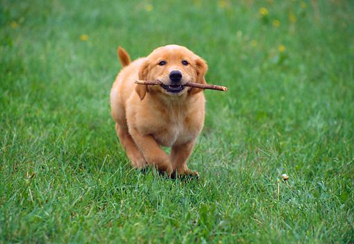 Golden Retriever Puppy Running Carrying Stick On Grass Kimballstock