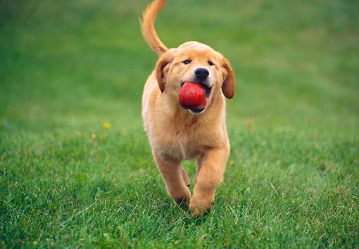 Golden Retriever Puppy Running Carrying Apple On Grass Kimballstock