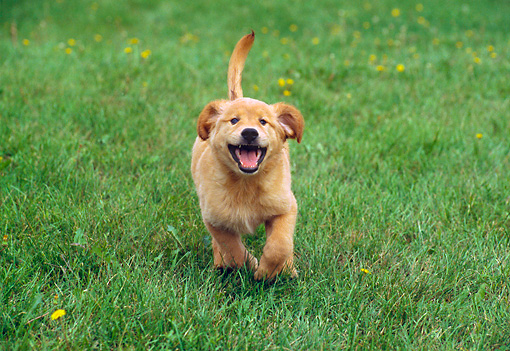 PUP 08 GR0056 01 © Kimball Stock Golden Retriever Puppy Running On Grass Head On