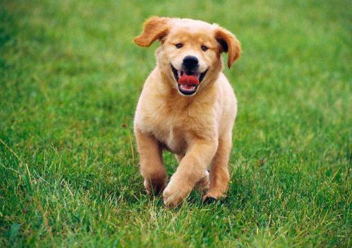Golden Retriever Puppy Running On Grass Head On Kimballstock
