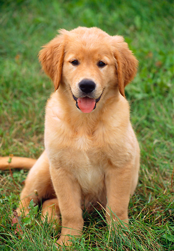 PUP 08 GR0058 01 © Kimball Stock Golden Retriever Puppy Sitting On Grass Head On