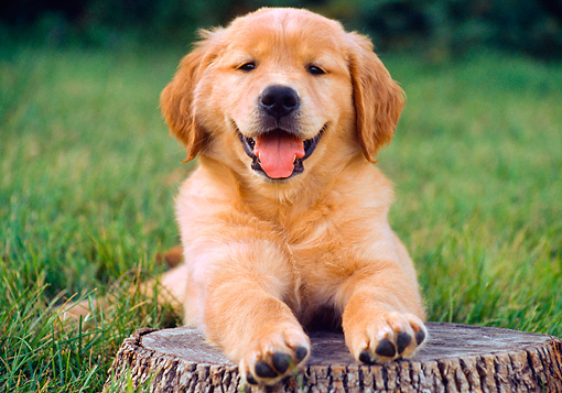 PUP 08 GR0065 01 © Kimball Stock Golden Retriever Puppy Laying On Tree Stump