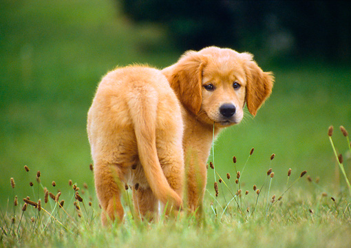 PUP 08 GR0070 01 © Kimball Stock Golden Retriever Puppy Standing In Field Rear View