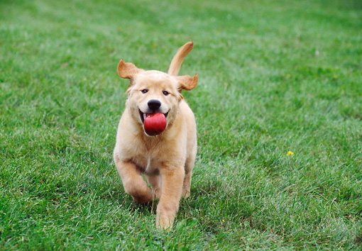 PUP 08 GR0071 01 © Kimball Stock Golden Retriever Puppy Running On Grass Carrying Red Apple In Mouth