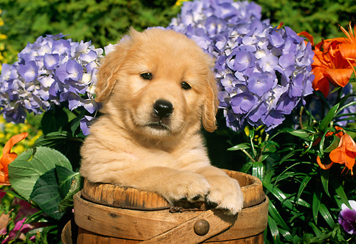 PUP 08 LS0002 01 © Kimball Stock Head Shot Of Golden Retriever Puppy Sitting In Wooden Barrel By Flowers