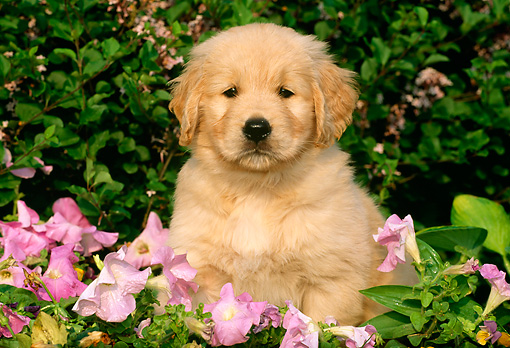 PUP 08 LS0006 01 © Kimball Stock Golden Retriever Puppy Sitting Among Pink Flowers