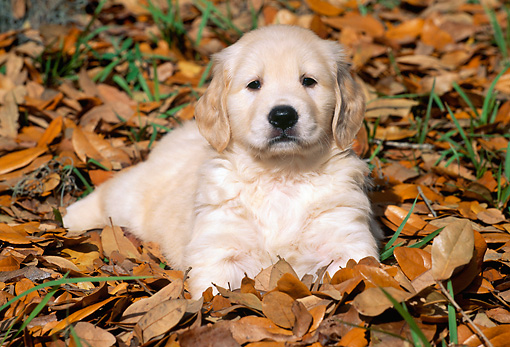 PUP 08 LS0008 01 © Kimball Stock Golden Retriever Laying On Autumn Leaves
