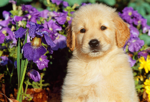 PUP 08 LS0011 01 © Kimball Stock Close-Up Of Golden Retriever Puppy Sitting By Purple Irises