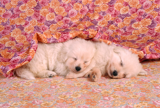 PUP 08 RC0001 01 © Kimball Stock Portrait Of Two Golden Retriever Puppies Sleeping Studio