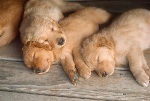 PUP 08 RC0002 01 © Kimball Stock Overhead Shot Of Golden Retriever Puppies Sleeping On Wood Deck