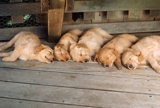 PUP 08 RC0003 01 © Kimball Stock Litter Of Golden Retriever Puppies Sleeping On Wood Deck