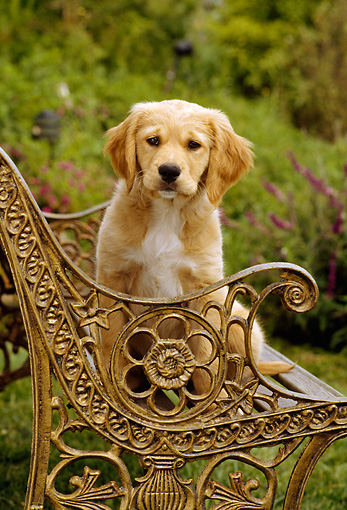 PUP 08 RC0005 01 © Kimball Stock Portrait Of Golden Retriever Puppy Sitting On Ornate Metal Bench In Garden
