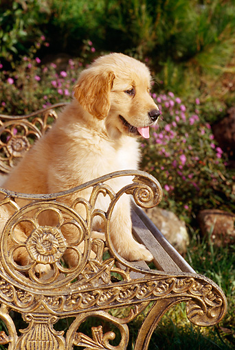 PUP 08 RC0008 01 © Kimball Stock Portrait Of Golden Retriever Puppy Sitting On Ornate Metal Bench In Garden