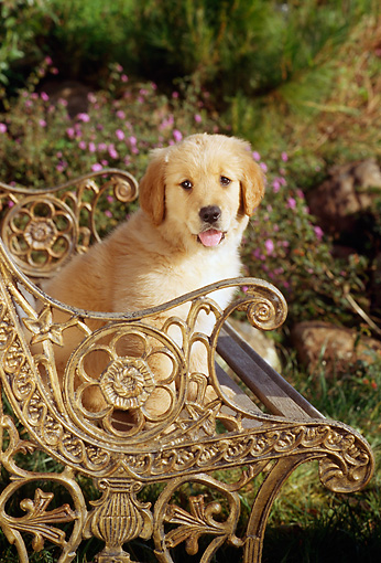 PUP 08 RC0009 01 © Kimball Stock Portrait Of Golden Retriever Puppy Sitting On Ornate Metal Bench In Garden