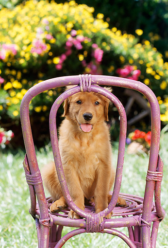 PUP 08 RC0011 01 © Kimball Stock Portrait Of Golden Retriever Puppy Sitting On Lavender Wicker Chair By Grass Yellow Flowers