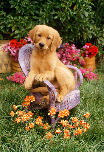PUP 08 RC0012 01 © Kimball Stock Portrait Of Golden Retriever Puppy Sitting On Lavender Wicker Chair By Orange And Red Flowers Shrubs Grass