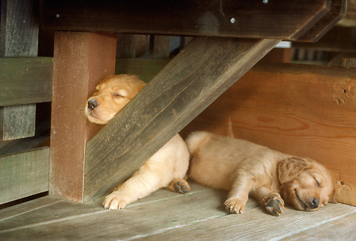 PUP 08 RC0014 01 © Kimball Stock Two Golden Retriever Puppies Sleeping On Wood Deck