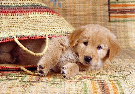PUP 08 RC0019 01 © Kimball Stock Golden Retriever Puppy Laying In Woven Bag