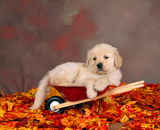 PUP 08 RK0003 04 © Kimball Stock Golden Retreiver Puppy Laying In Wheelbarrow By Autumn Leaves Studio