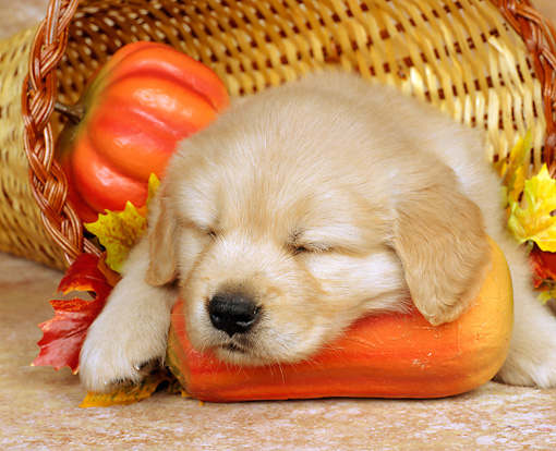 PUP 08 RK0010 01 © Kimball Stock Close-Up Of Golden Retreiver Puppy Sleeping In Basket By Pumpkin