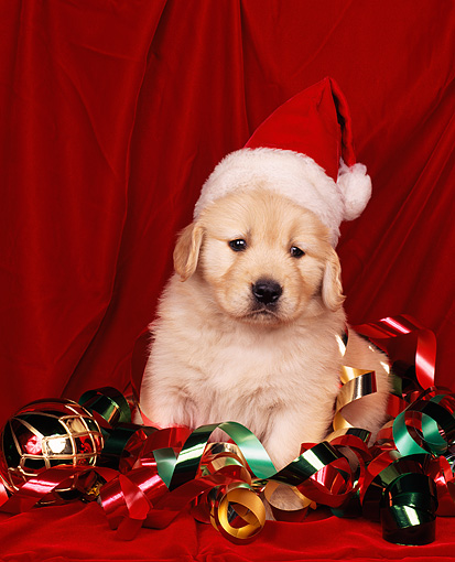 PUP 08 RK0012 01 © Kimball Stock Golden Retreiver Puppy Sitting In Christmas Decorations And Wearing Santa Hat Red Backgrnd