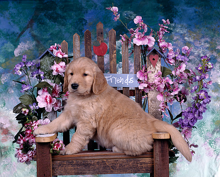 PUP 08 RK0037 01 © Kimball Stock Golden Retriever Puppy Sitting On Chair By Flowers Paw On Arm Of Chair Mottled Background