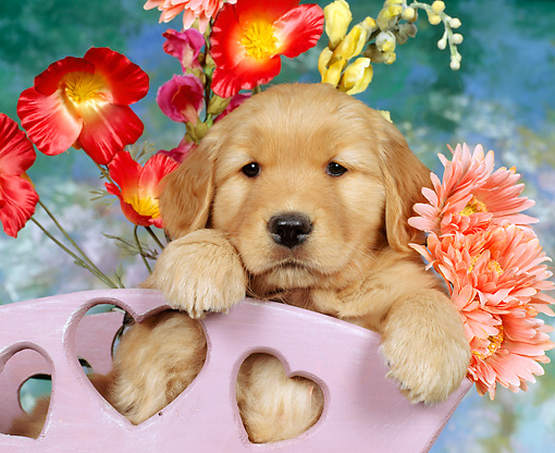 PUP 08 RK0049 05 © Kimball Stock Close Up Of Golden Retriever Puppy Sitting In Flower Cart