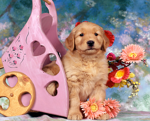 PUP 08 RK0055 01 © Kimball Stock Close Up Of Golden Retriever Sitting Next To Tipped Pink Cart By Flowers Facing Camera Mottled Background