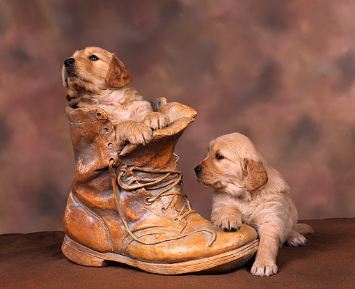 PUP 08 RK0085 06 © Kimball Stock Golden Retrievers Sitting In Old Boot And On Top Brown Background