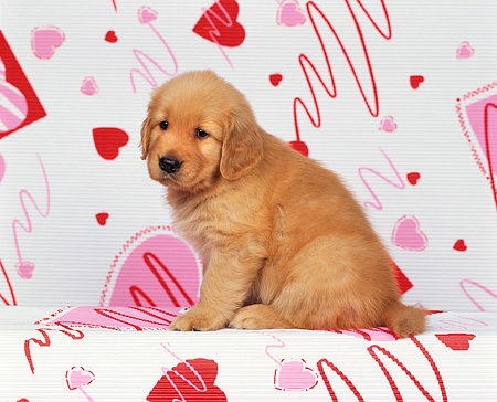PUP 08 RK0101 02 © Kimball Stock Golden Retriever Puppy Sitting Facing Camera On Valentine Heart Print