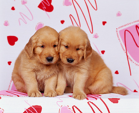 PUP 08 RK0101 07 © Kimball Stock Golden Retriever Puppy Sitting Facing Camera On Valentine Heart Print