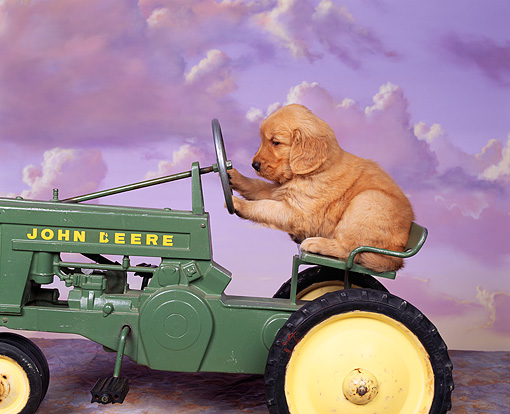 PUP 08 RK0103 06 © Kimball Stock Humorous Shot Of Golden Retriever Sitting On A John Deere Tractor Purple Clouds Background
