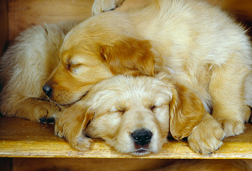 PUP 08 RK0116 08 © Kimball Stock Two Golden Retriever Puppies Sleeping On Book Shelf