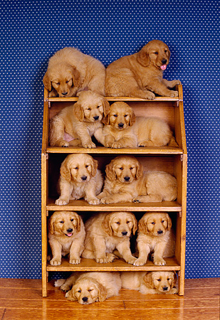 PUP 08 RK0127 12 © Kimball Stock A Group Of Golden Retriever Puppies Sitting On Shelves Blue Wallpaper Background