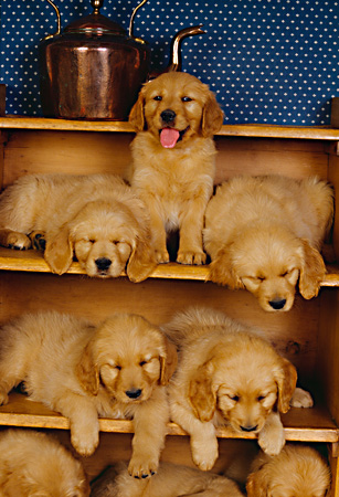 PUP 08 RK0127 31 © Kimball Stock A Group Of Golden Retriever Puppies Sitting On Shelves Blue Wallpaper Background