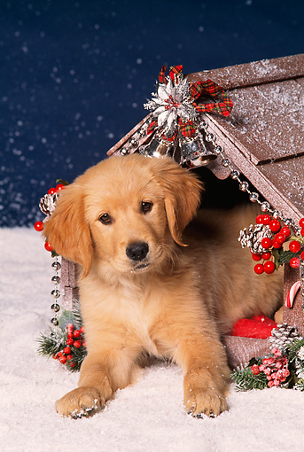 PUP 08 RK0134 06 © Kimball Stock Golden Retriever Puppy Sitting Inside Christmas Decorated Dog House On Snow Facing Camera