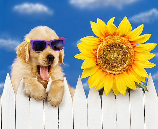 PUP 08 RK0147 01 © Kimball Stock Humorous Shot Of Golden Retriever Sitting By White Fence And Sunflower Wearing Sunglasses Blue Sky