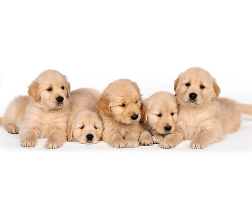 PUP 08 RK0156 10 © Kimball Stock A Group Of Golden Retriever Puppies Laying On White Seamless Studio
