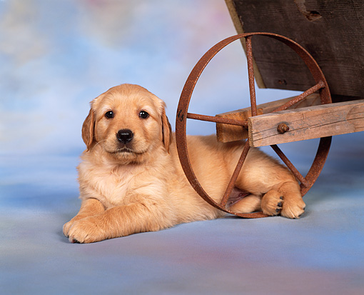 PUP 08 RK0164 02 © Kimball Stock Golden Retriever Puppy Laying By Wheelbarrow Mottled Background